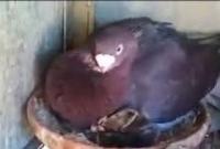 Yuvasına aldığı yavru kediyi koruyan güvercin..